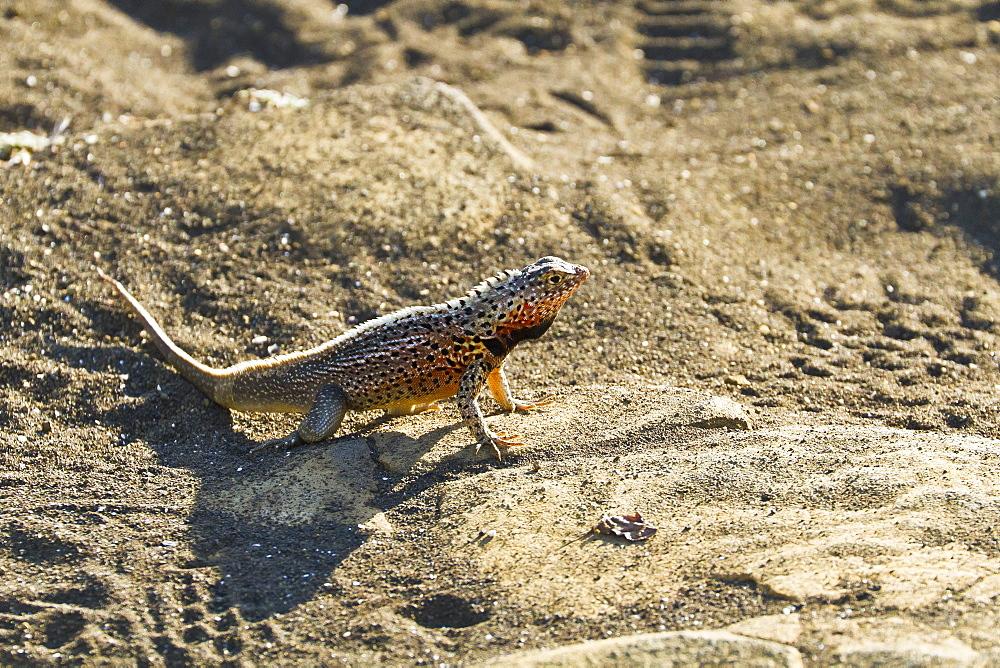 Male lava lizard (Microlophus spp), Las Bachas, Santa Cruz Island, Galapagos Islands, Ecuador, South America