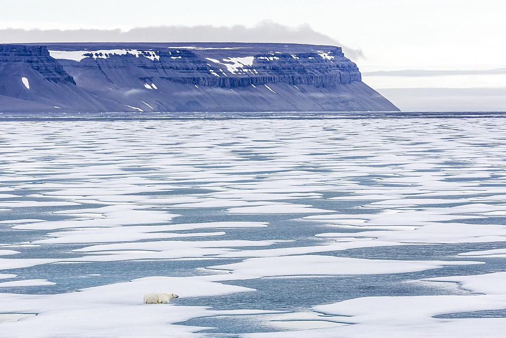 An adult polar bear (Ursus maritimus) stalking seals on fast ice in Icy Arm, Baffin Island, Nunavut, Canada, North America