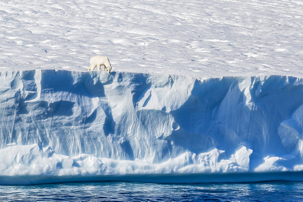 An adult polar bear (Ursus maritimus) on the edge of a huge iceberg in Arctic Harbour, Isabella Bay, Baffin Island, Nunavut, Canada, North America