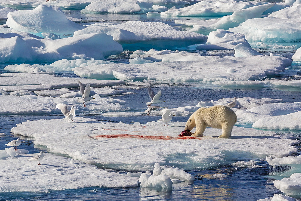 An adult polar bear (Ursus maritimus) with seal kill, Arctic Harbour, Isabella Bay, Baffin Island, Nunavut, Canada, North America