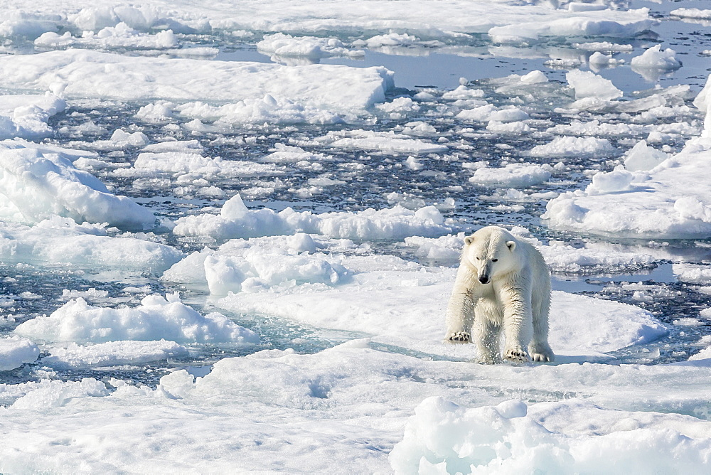 Adult polar bear (Ursus maritimus) leaping from ice floe, Cumberland Peninsula, Baffin Island, Nunavut, Canada, North America