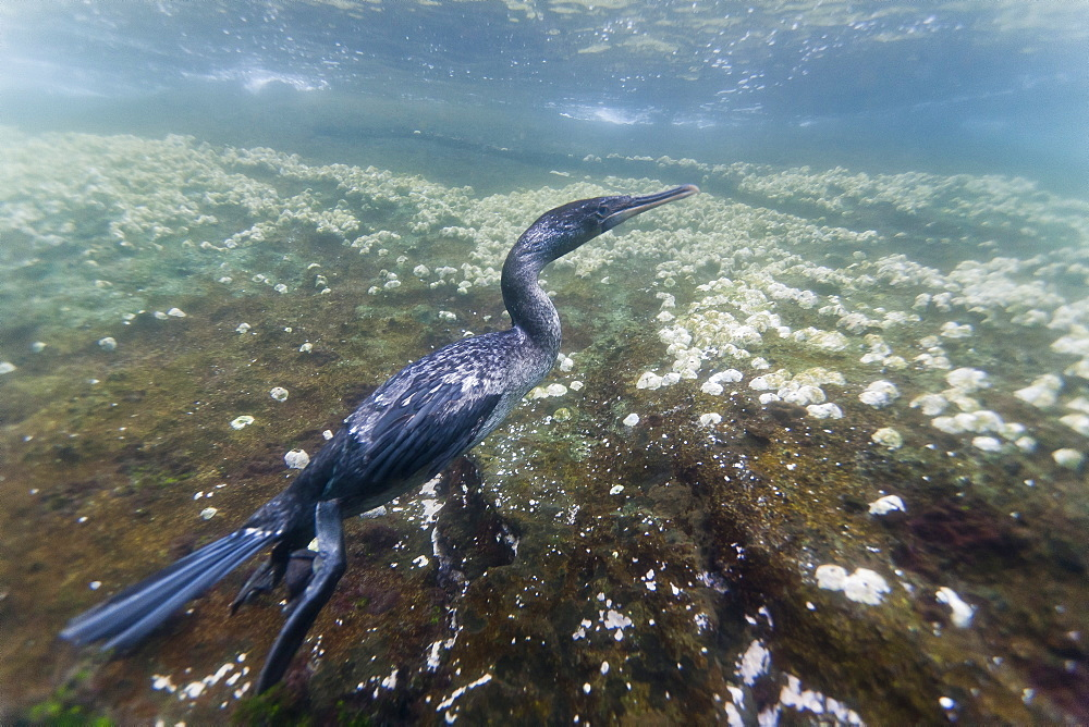 Flightless cormorant (Nannopterum harrisi) hunting underwater, Tagus Cove, Isabela Island, Galapagos Islands, Ecuador, South America