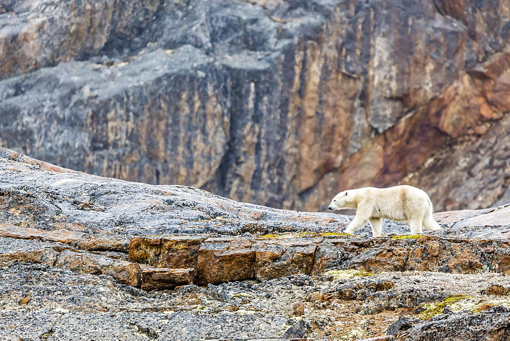 Adult polar bear (Ursus maritimus) in the mist in the Savage Islands, Nunavut, Canada, North America