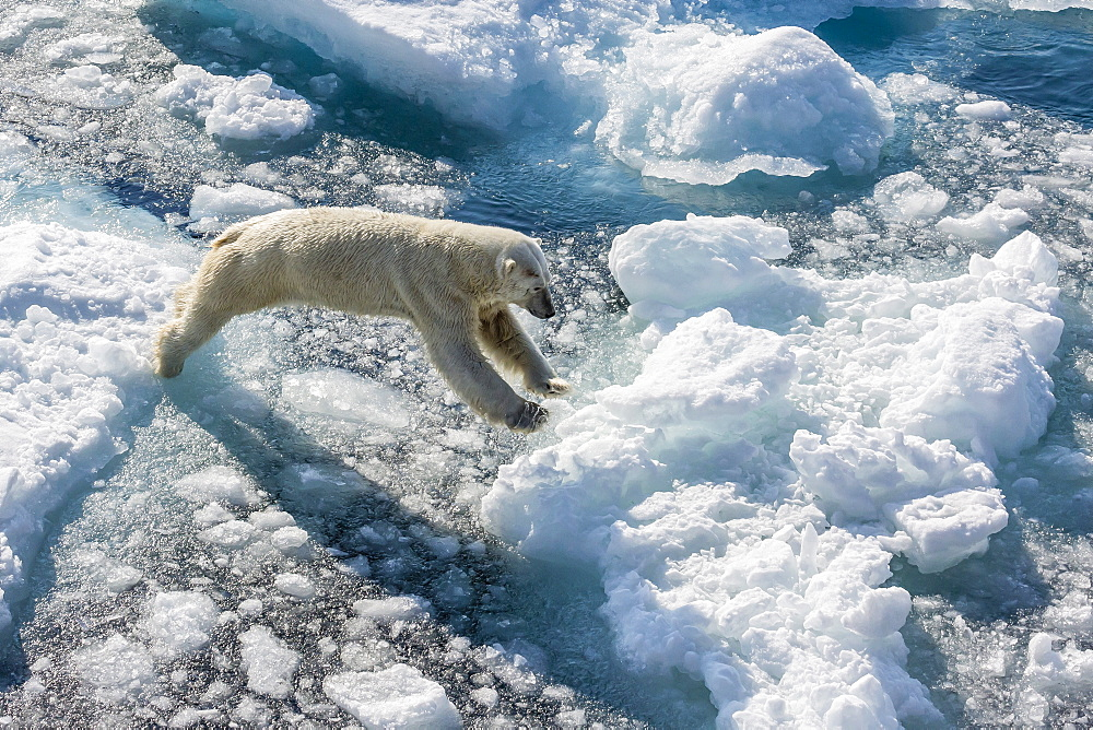 Adult polar bear (Ursus maritimus) on ice floe, Cumberland Peninsula, Baffin Island, Nunavut, Canada, North America - 1112-1737