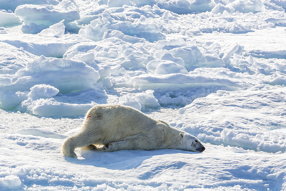 Adult polar bear (Ursus maritimus) cleaning fur on ice floe, Cumberland Peninsula, Baffin Island, Nunavut, Canada, North America