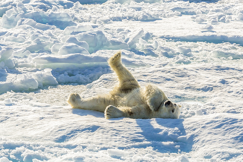 Adult polar bear (Ursus maritimus) cleaning fur on ice floe, Cumberland Peninsula, Baffin Island, Nunavut, Canada, North America - 1112-1740