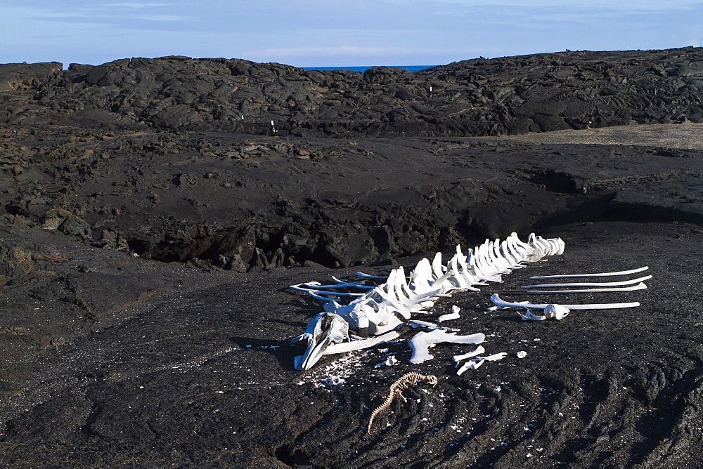 Whale skeleton, Fernandina Island, Galapagos Islands, UNESCO World Heritage Site, Ecuador, South America