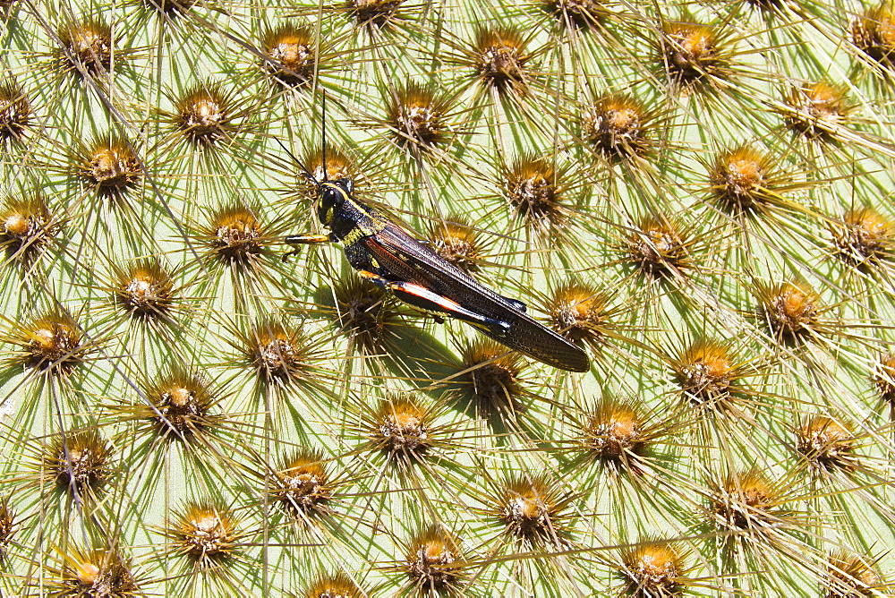 Painted locust (Schistocerca melanocera) on endemic opuntia cactus, Cerro Dragon, Santa Cruz Island, Galapagos Islands, Ecuador, South America