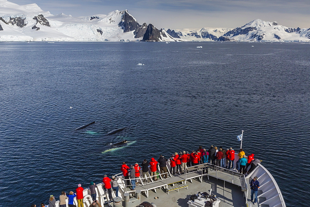 Adult humpback whales (Megaptera novaeangliae) surfacing off the bow of the National Geographic Explorer in the Gerlache Strait, Antarctica, Polar Regions