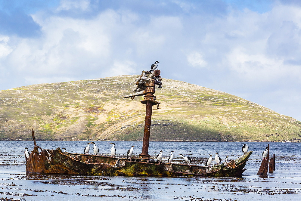 Adult imperial shags (Phalacrocorax atriceps) on rusting shipwreck on New Island, West Falkland Islands, UK Overseas Protectorate, South America