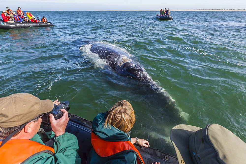 California gray whale (Eschrichtius robustus) approaching Zodiacs in Magdalena Bay, Baja California Sur, Mexico, North America