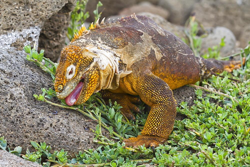 Galapagos land iguana (Conolophus subcristatus), North Seymour Island, Galapagos Islands, UNESCO World Heritge Site, Ecuador, South America