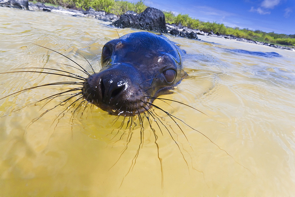 Galapagos sea lion (Zalophus wollebaeki) pup, Gardner Bay, Espanola Island, Galapagos Islands, UNESCO World Heritage Site, Ecuador, South America
