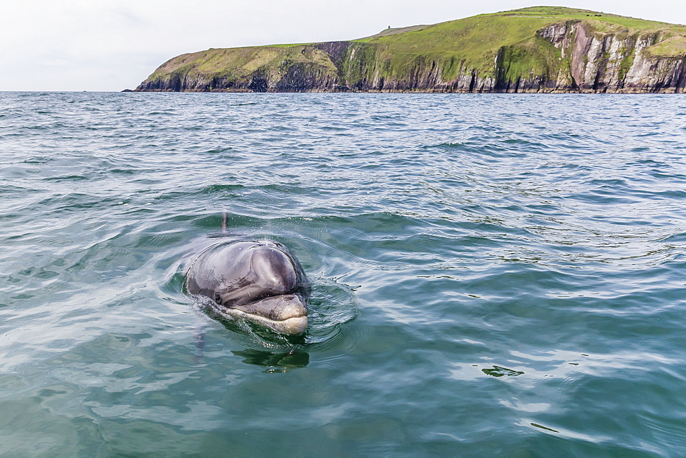 Adult bottlenose dolphin (Tursiops truncates) affectionately named Fungie who has lived for decades near the Dingle Peninsula, County Kerry, Munster, Republic of Ireland, Europe
