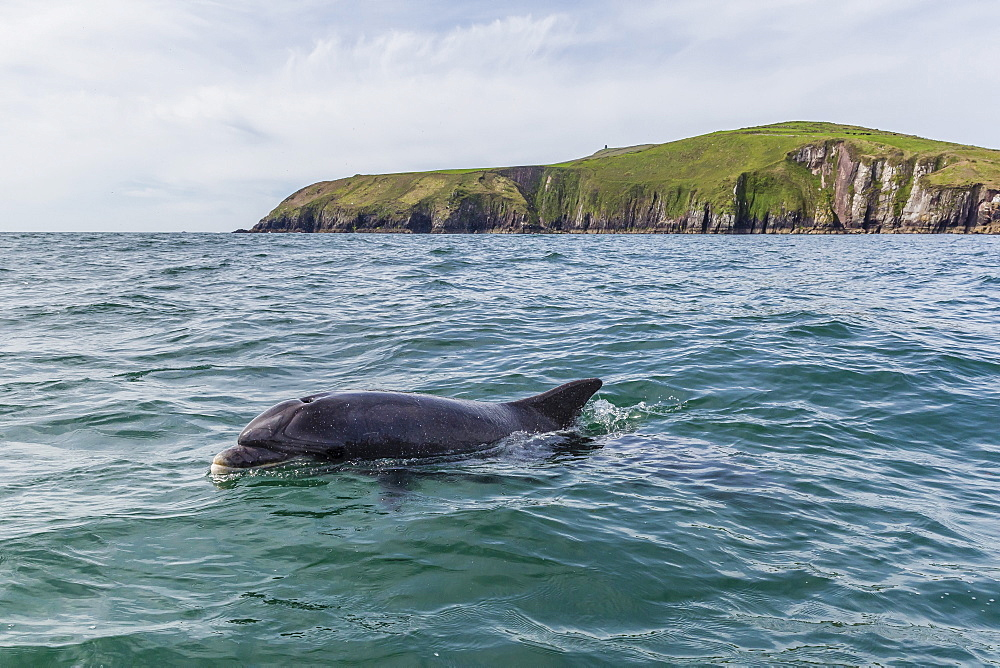 Adult bottlenose dolphin (Tursiops truncates) affectionately named Fungie who has lived for decades near the Dingle Peninsula, County Kerry, Munster, Republic of Ireland, Europe - 1112-2399