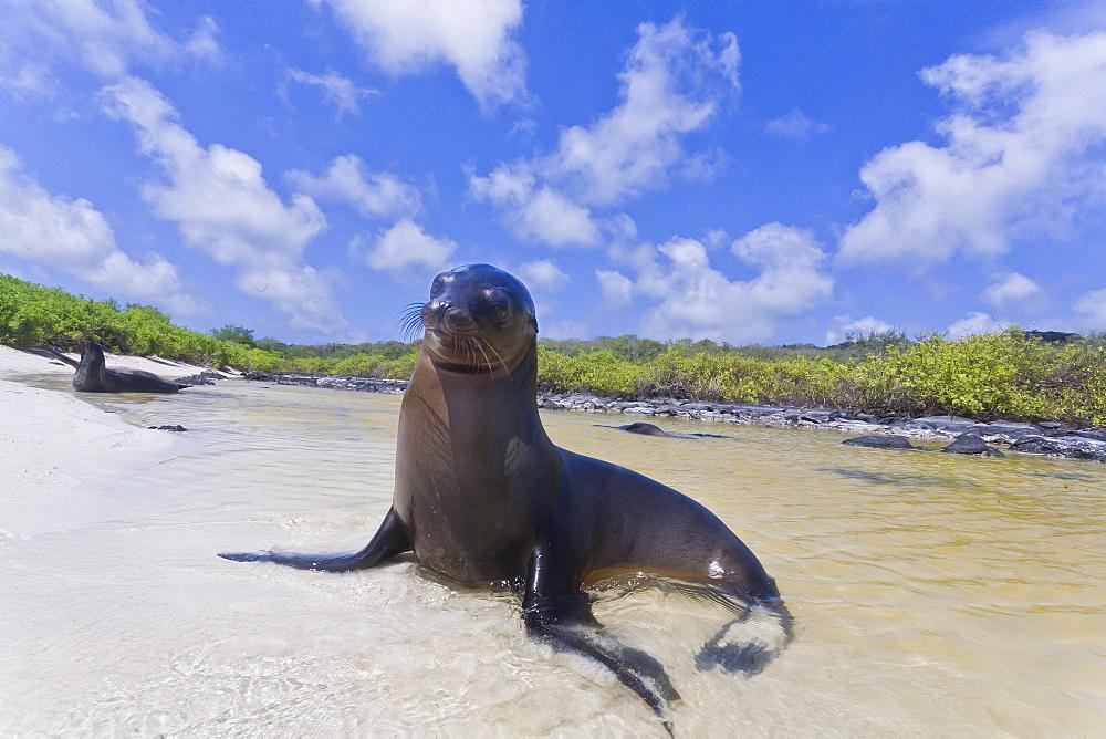 Galapagos sea lions (Zalophus wollebaeki), Gardner Bay, Espanola Island, Galapagos Islands, UNESCO World Heritage Site, Ecuador, South America
