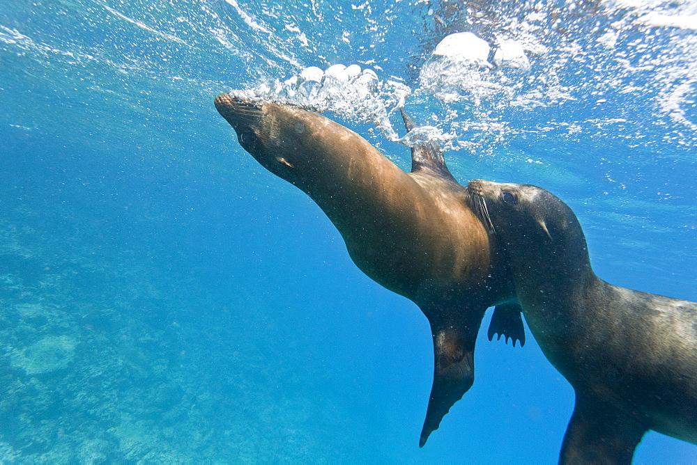 Galapagos sea lions (Zalophus wollebaeki) underwater, Champion Island, Galapagos Islands, Ecuador, South America