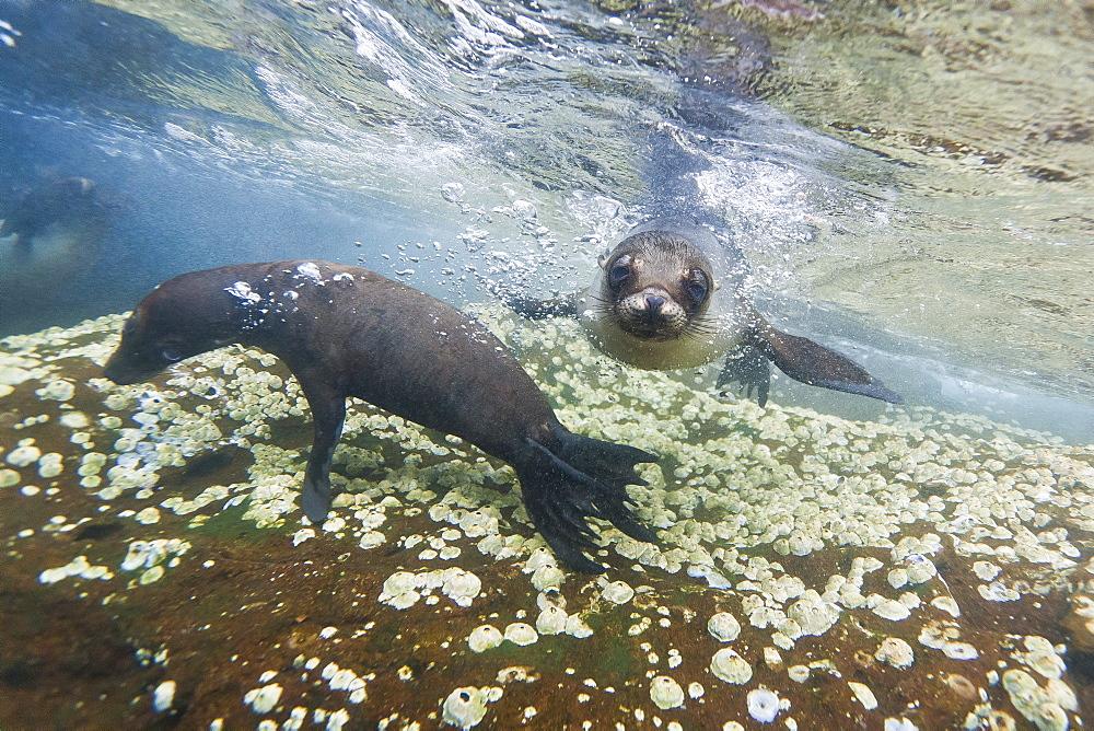 Galapagos sea lions (Zalophus wollebaeki) underwater, Guy Fawkes Islands, Galapagos Islands, Ecuador, South America