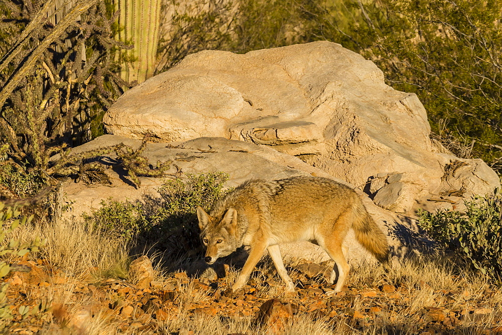 Adult captive coyote (Canis latrans) at the Arizona Sonora Desert Museum, Tucson, Arizona, United States of America, North America
