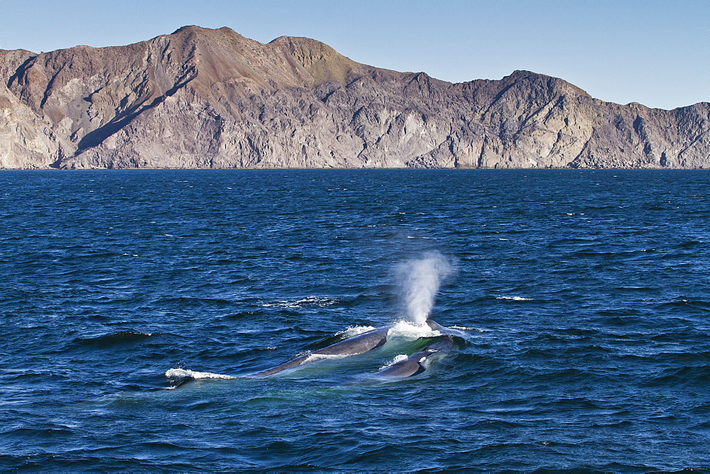 Blue whale cow (Balaenoptera musculus) and calf, southern Gulf of California (Sea of Cortez), Baja California Sur, Mexico, North America