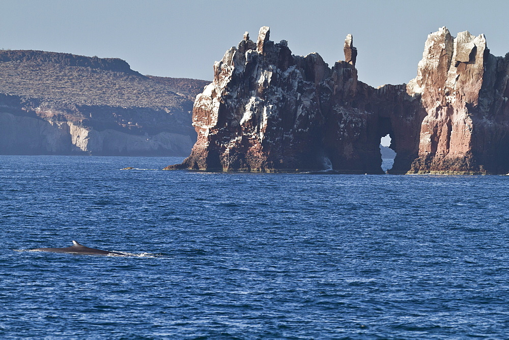 Adult fin whale (Balaenoptera physalus), Los Islotes, Gulf of California (Sea of Cortez), Baja California Sur, Mexico, North America