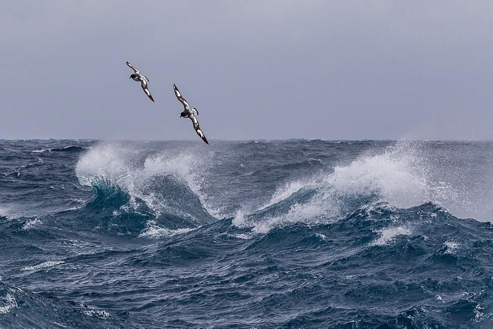 Adult cape petrels (Daption capense) in rough seas in English Strait, South Shetland Islands, Antarctica, Polar Regions