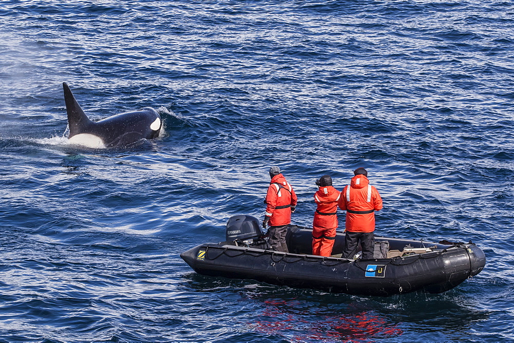Adult Type A killer whale (Orcinus orca) surfacing near researchers in the Gerlache Strait, Antarctica, Polar Regions