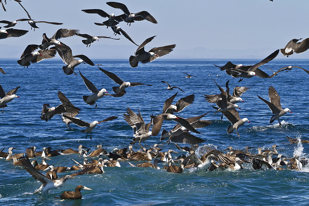 Long-beaked common dolphins (Delphinus capensis) feeding on a bait ball with gulls and boobies, Gulf of California (Sea of Cortez), Baja California, Mexico, North America