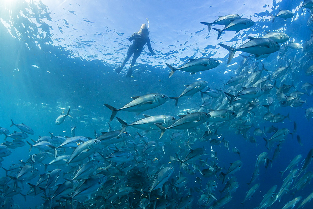 A snorkeler with a large school of bigeye trevally (Caranx sexfasciatus) in deep water near Cabo Pulmo, Baja California Sur, Mexico, North America