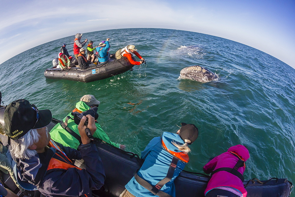 California gray whale (Eschrichtius robustus), surfacing with excited whale watchers in San Ignacio Lagoon, Mexico, North America