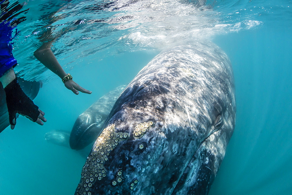 California gray whale (Eschrichtius robustus) calf underwater with whale watchers in San Ignacio Lagoon, Baja California Sur, Mexico, North America