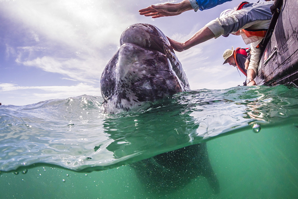 California gray whale (Eschrichtius robustus) calf above and below with whale watchers in San Ignacio Lagoon, Baja California Sur, Mexico, North America