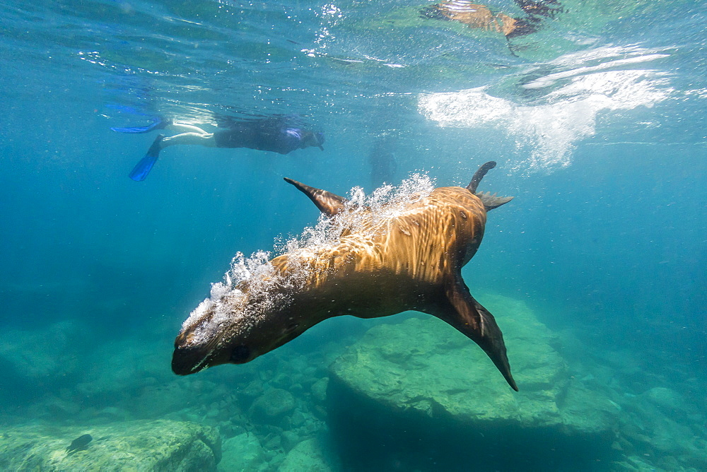 California sea lion (Zalophus californianus) underwater with snorkeler at Los Islotes, Baja California Sur, Mexico, North America
