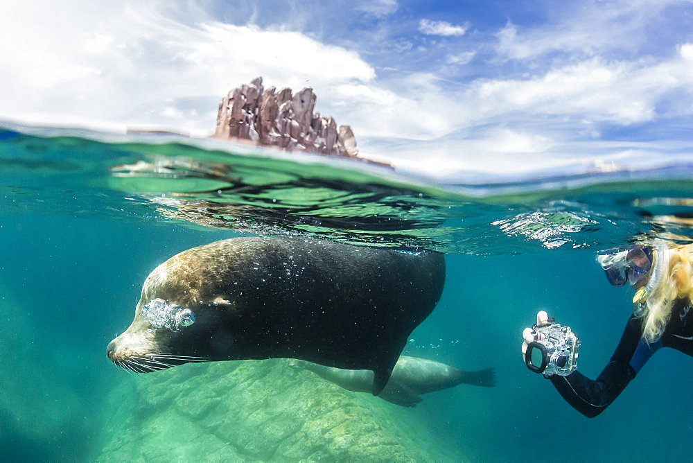 California sea lion bull (Zalophus californianus) half above and half below with snorkeler at Los Islotes, Baja California Sur, Mexico, North America