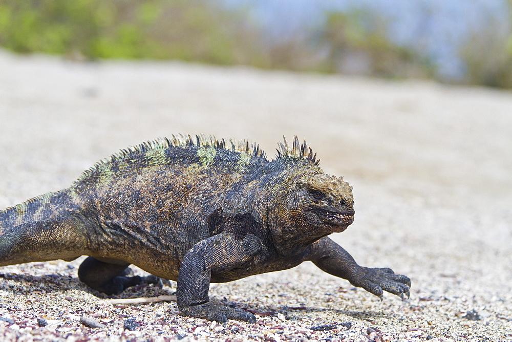 Galapagos marine iguana (Amblyrhynchus cristatus), Fernandina Island, Galapagos Islands, UNESCO World Heritage Site, Ecuador, South America