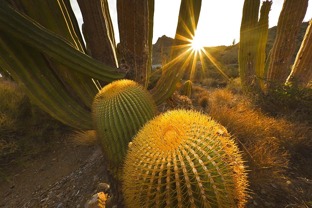 Endemic giant barrel cactus (Ferocactus diguetii), Isla Santa Catalina, Gulf of California (Sea of Cortez), Baja California Sur, Mexico, North America