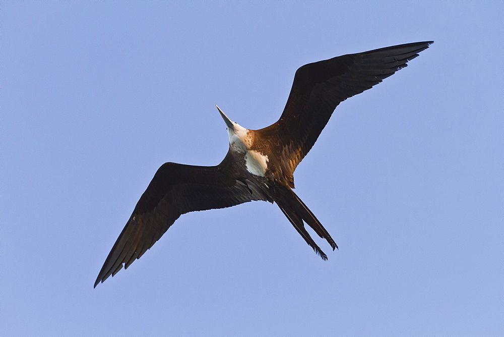 Magnificent frigatebird (Fregata magnificens), Gulf of California (Sea of Cortez),  Baja California Sur, Mexico, North America