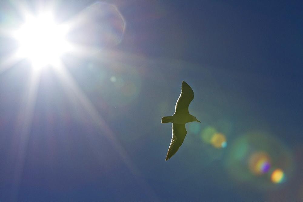 Heermann's gull (Larus heermanni), Isla Rasa, Gulf of California (Sea of Cortez), Mexico, North America