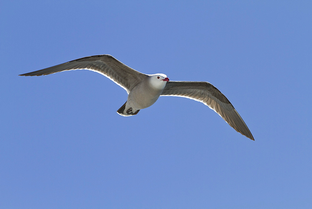 Heermann's gull (Larus heermanni), Isla Rasa, Gulf of California (Sea of Cortez), Mexico, North America