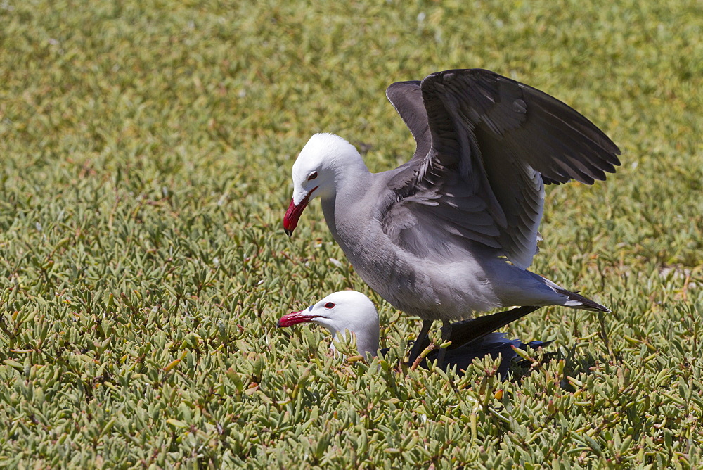 Heermann's gulls (Larus heermanni) mating, Isla Rasa, Gulf of California (Sea of Cortez), Mexico, North America