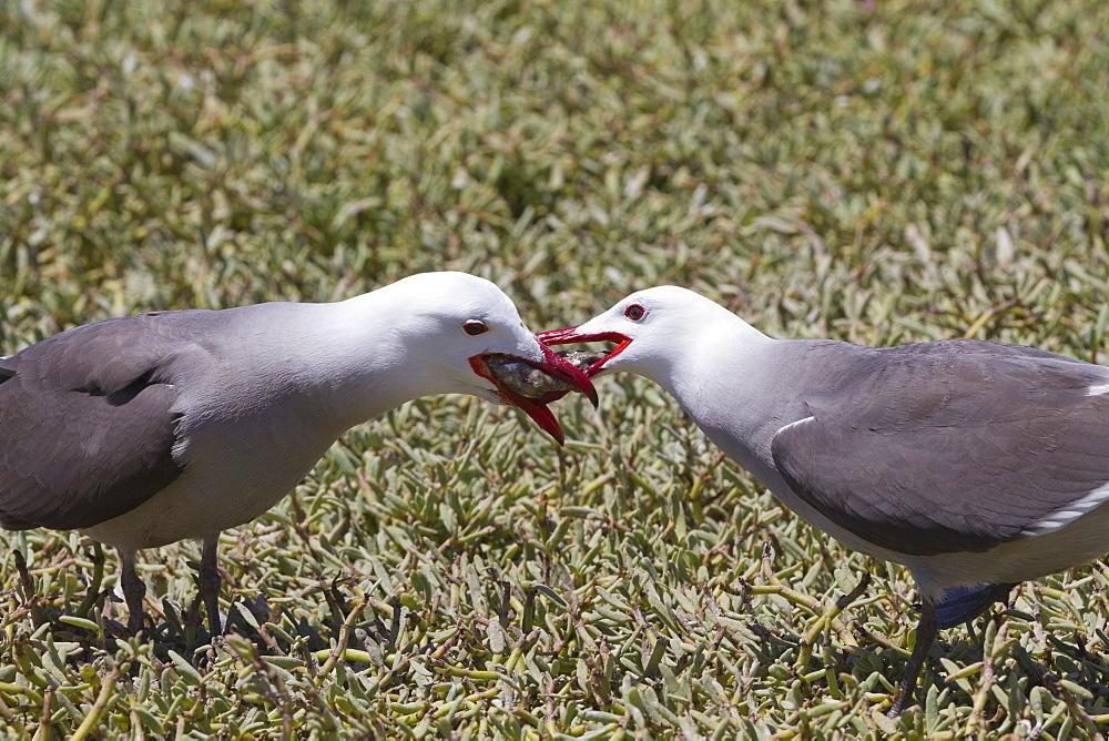 Heermann's gull (Larus heermanni) male feeding female, Isla Rasa, Gulf of California (Sea of Cortez), Mexico, North America