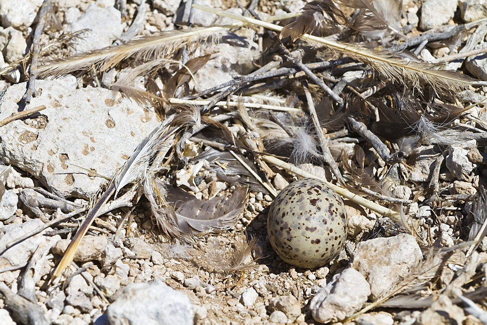 Heermann's gull (Larus heermanni) nest with egg, Isla Rasa, Gulf of California (Sea of Cortez), Mexico, North America