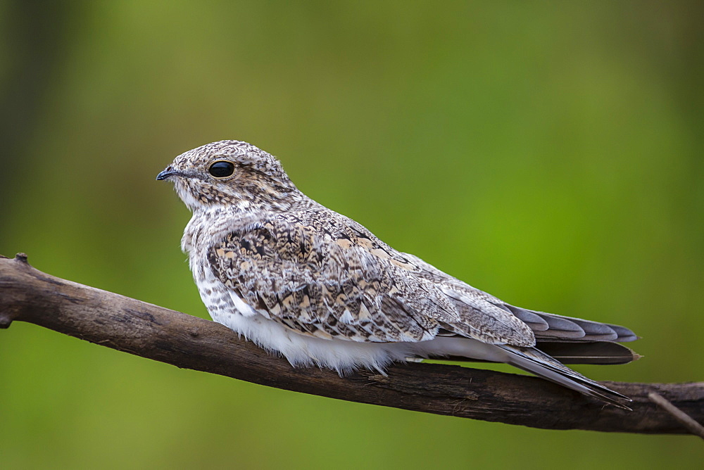 Adult sand-colored nighthawk (Chordeiles rupestris), Puerto Miguel, Upper Amazon River Basin, Loreto, Peru, South America