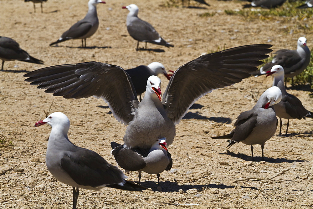 Heermann's gulls (Larus heermanni) mating, Isla Rasa, Gulf of California (Sea of Cortez), Mexico, North America