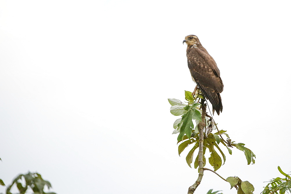 Adult snail kite (Rostrhamus sociabilis), in the Pacaya Samiria Preserve, Loreto, Peru, South America