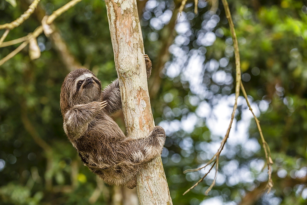 A captive pet brown-throated sloth (Bradypus variegatus), San Francisco Village, Loreto, Peru, South America