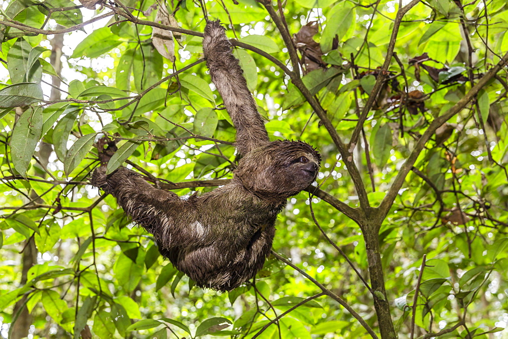 A wild brown-throated sloth (Bradypus variegatus), Landing Casual, Upper Amazon River Basin, Loreto, Peru, South America