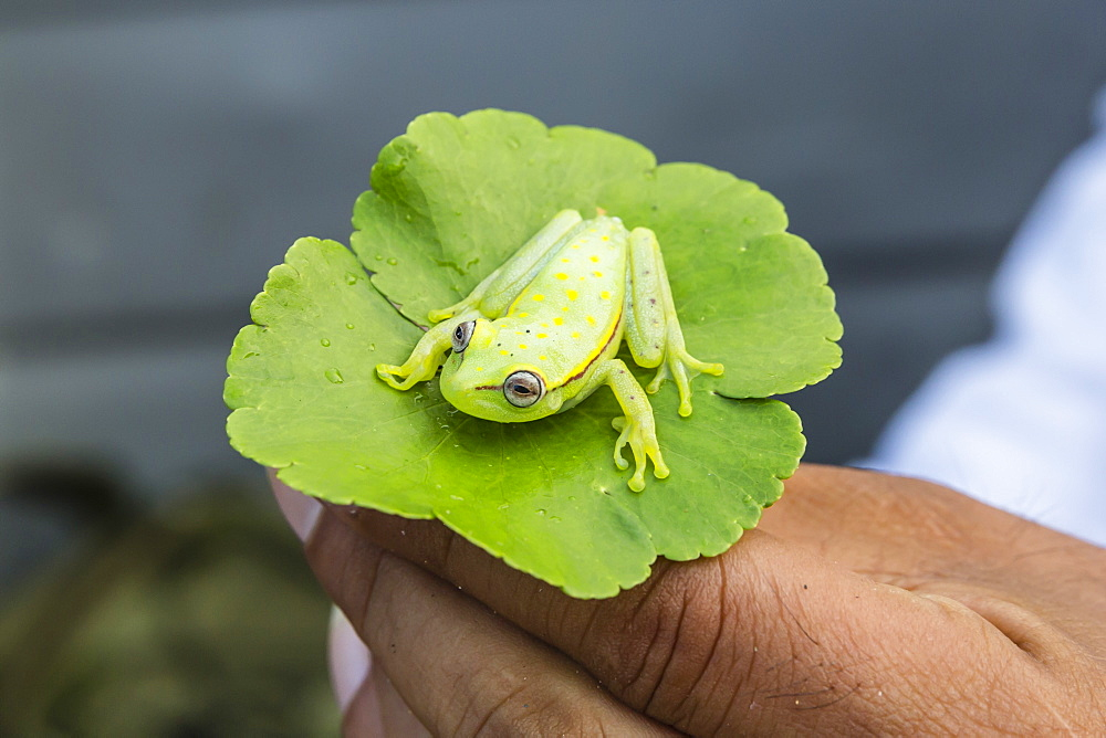 A captured common polkadot treefrog (Hyla punctata), El Dorado Caño, Loreto, Peru, South America