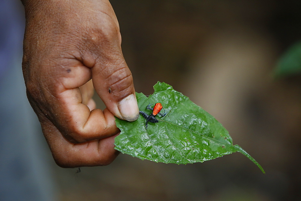 Adult red-backed poison frog (Ranitomeya reticulata), Landing Casual, Upper Amazon River Basin, Loreto, Peru, South America