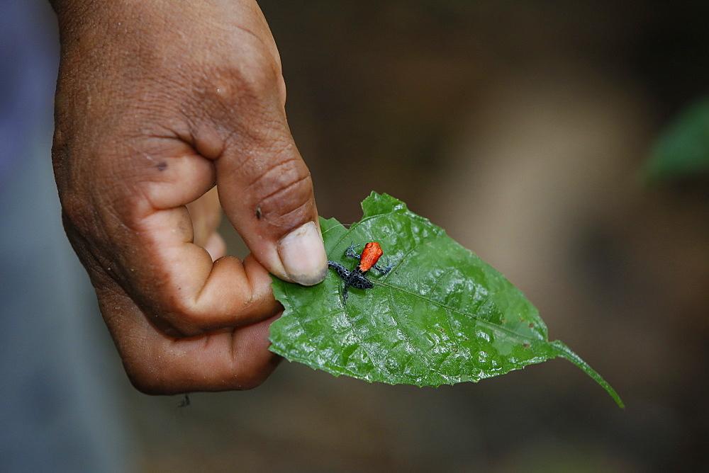 Adult red-backed poison frog (Ranitomeya reticulata), Landing Casual, Upper Amazon River Basin, Loreto, Peru, South America